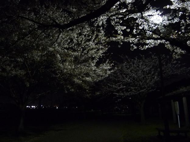 引地川親水公園の桜とレモン9