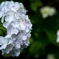 紫陽花-白