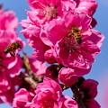 Photos: 桃とハチ