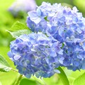 ふんわり紫陽花