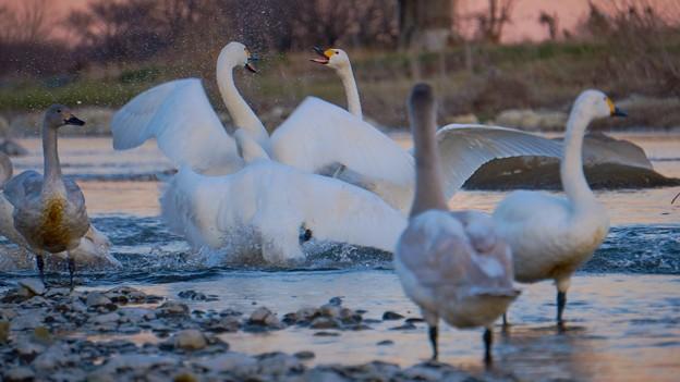 白鳥の争い