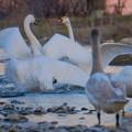 Photos: 白鳥の争い
