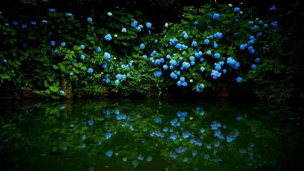 Photos: 水面に映る紫陽花