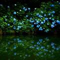 水面に映る紫陽花
