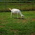 Photos: 真夏の山羊