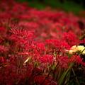 早咲き曼珠沙華