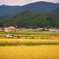 Photos: 収穫時期