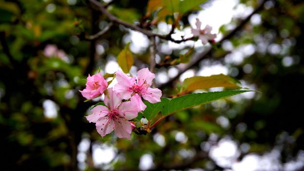 Photos: 十月桜?