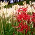 Photos: みずみずしい彼岸花たち