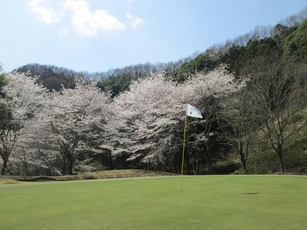 写真: 足利城ゴルフ倶楽部の桜NO2?
