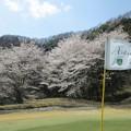 写真: 足利城ゴルフ倶楽部の桜NO2グリーンの満開の桜