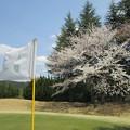 Photos: 足利城ゴルフ倶楽部3番Hグリーン奥の桜