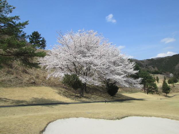 写真: 足利城ゴルフ倶楽部5番Hセカンド地点の大桜!!