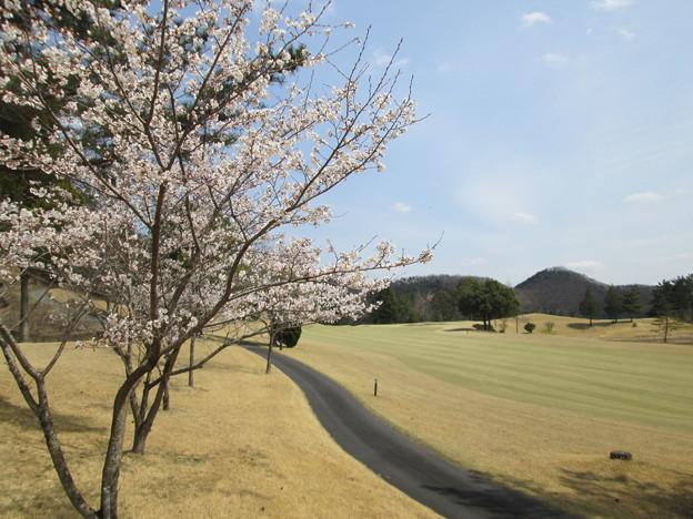 写真: 足利城ゴルフ倶楽部9番Hセカンド地点の桜