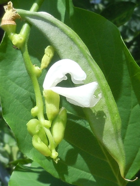 写真: ナタマメの白い花と実