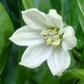 黄パプリカの白い花♪