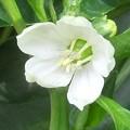 赤パプリカの白い花♪