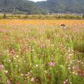 コスモス畑-2