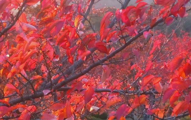 桜の紅葉最前線♪