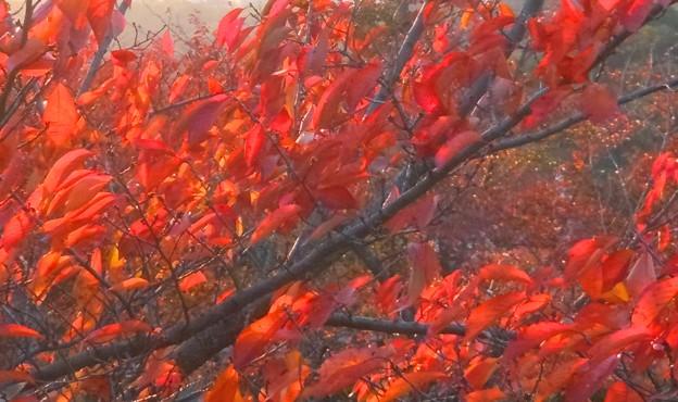 桜の名所も燃えている♪