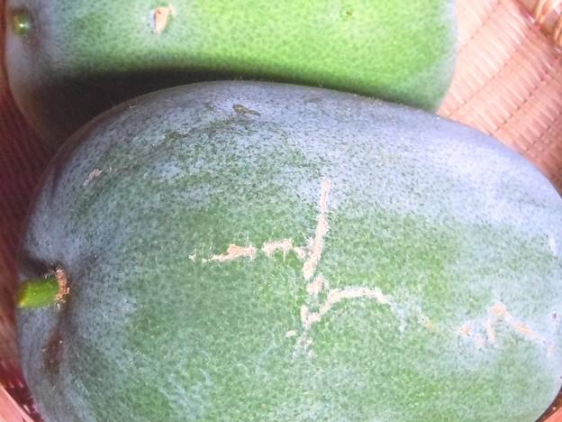 1個2.2キロの冬瓜(とうがん)を収穫♪
