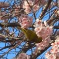 桜にメジロ in 千光寺山