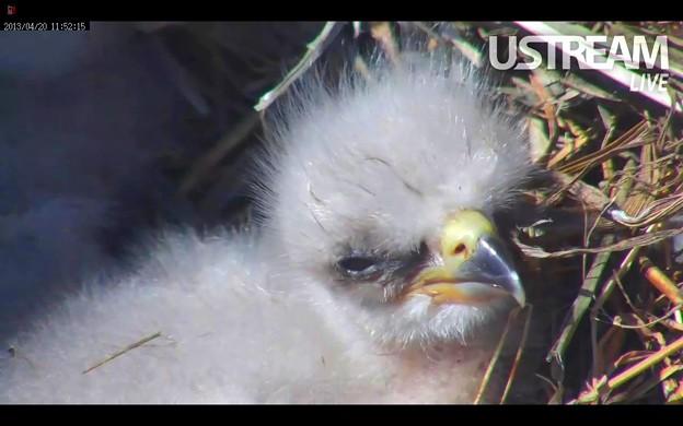 国鳥ハクトウワシの雛二羽が誕生しました♪ in 米国ミネソタ州