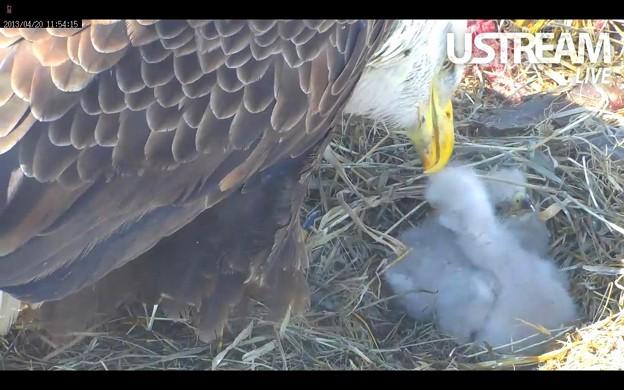 孵化した二羽の雛と親鳥のハクトウワシ♀