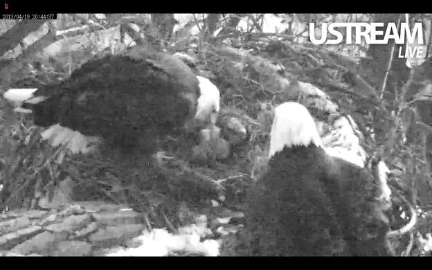 ハクトウワシの孵化した雛鳥2羽と親鳥2羽