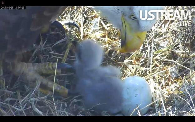 雛が一羽 孵ったよ!