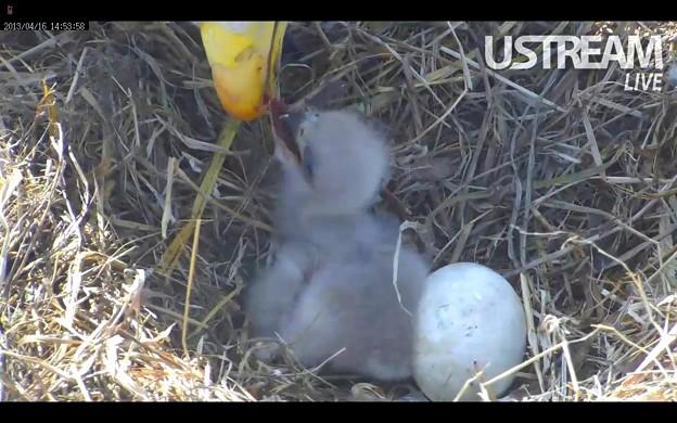 一羽目の雛が孵ったよ!