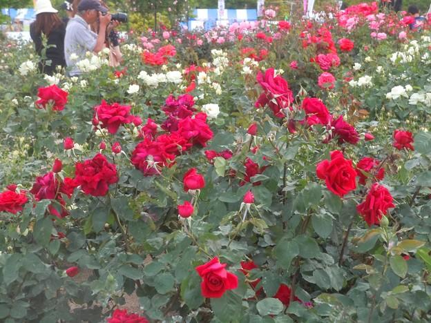 ローズヒルの薔薇たち in 福山ばら祭2013