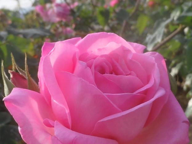 甘い色の薔薇