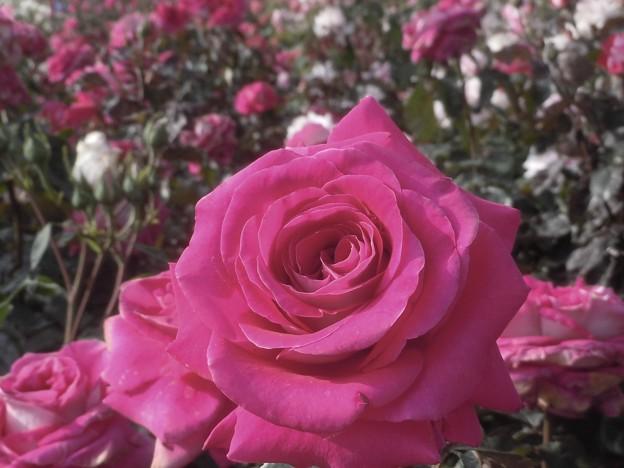 セピア色の赤いバラ