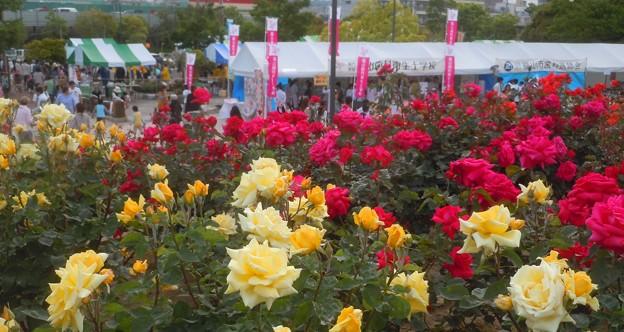 緑町公園ローズヒルの薔薇