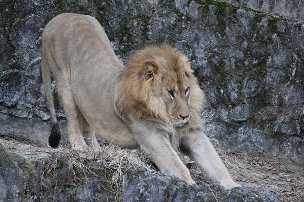 安佐動物園 ライオン