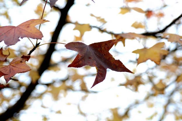 マキノ 並木の紅葉