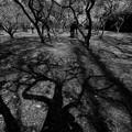Photos: 京都府立植物園の梅林 モノクロ