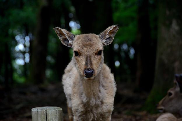鹿 正面から