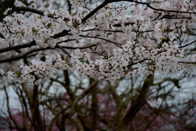 坂本の桜11