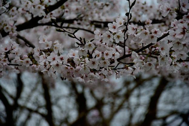 坂本の桜13