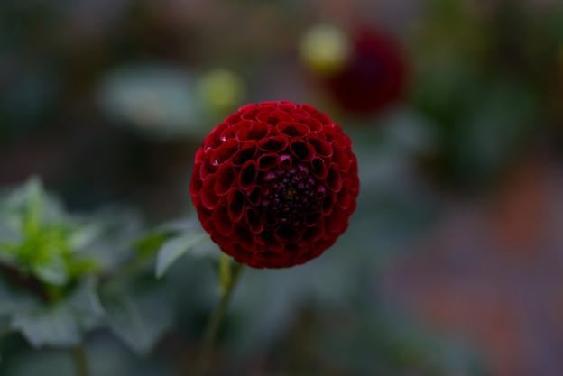 ガーデンミュジアム比叡 丸い花