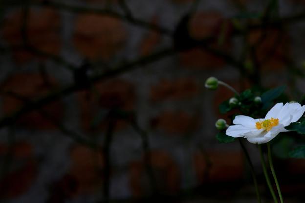 ガーデンミュジアム比叡 白い花と壁