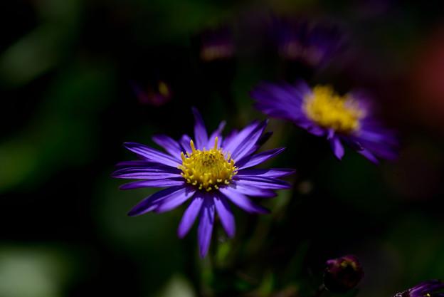 ガーデンミュジアム比叡 紫の花04