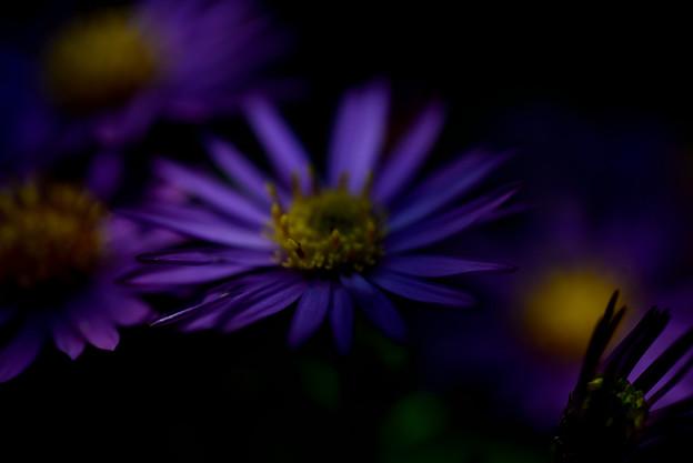 ガーデンミュジアム比叡 紫の花02