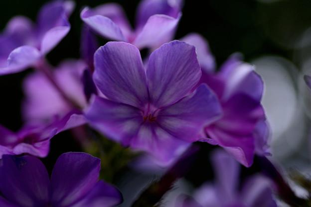 イングリッシュガーデン 真夏の紫陽花 03