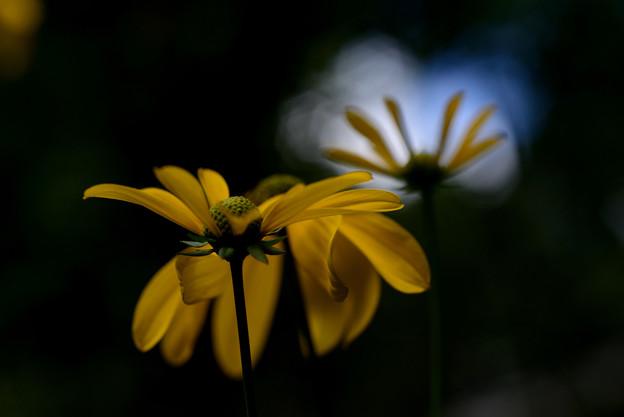 イングリッシュガーデン 夏の黄色い花