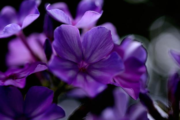 イングリッシュガーデン 真夏の紫陽花04