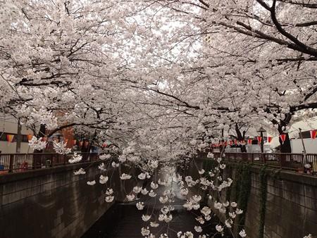 2013.3.25 目黒川の桜 東急ストア前の橋(下)