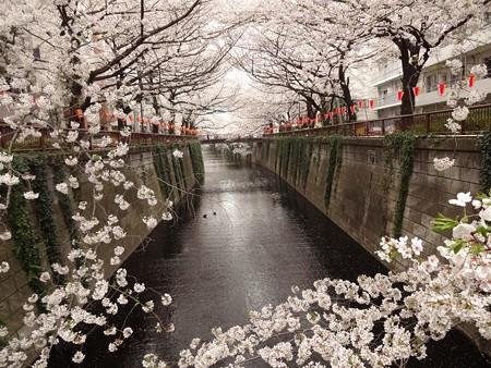 2013.3.25 目黒川の桜 東急ストア前の橋(上)